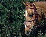 Vespucci Double Raised Browband