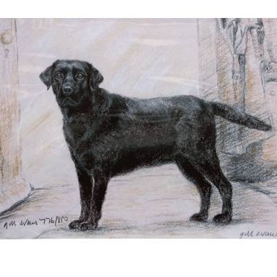 Black Labrador By: Gill Evans, Matted