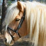 Icelandic Horse Bridle Made to fit Icelandic Horses. Black leather with flash